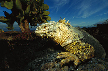 Galapagos Land Iguana (Conolophus subcristatus) close-up, on rock, Galapagos Islands, Ecuador  -  Mark Moffett