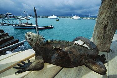 Marine Iguana (Amblyrhynchus cristatus) on boat dock, Santa Cruz Island, Galapagos Islands, Ecuador  -  Mark Moffett