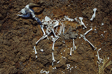 Feral Goat skeleton on ground near Beagle Crater, Isabella Island, Galapagos Islands, Ecuador  -  Mark Moffett