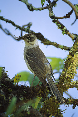 Galapagos Mockingbird (Nesomimus parvulus) with nesting material, Isabella Island, Galapagos Islands, Ecuador  -  Mark Moffett