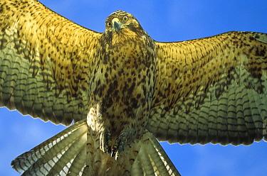 Galapagos Hawk (Buteo galapagoensis) flying, Alcedo Volcano, Isabella Island, Galapagos Islands, Ecuador  -  Mark Moffett