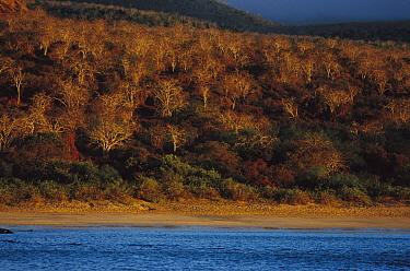 Palo Santo (Bursera graveolens) trees along coastline, Floreana Islands, Galapagos Islands, Ecuador  -  Mark Moffett