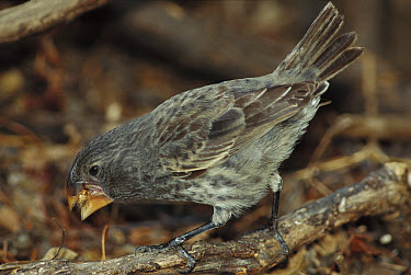 Large Ground Finch (Geospiza magnirostris) feeding, endemic species, extra large bill for cracking large seeds, largest of Darwin's 13 Finches, Santiago Island, Galapagos Islands, Ecuador  -  Mark Moffett