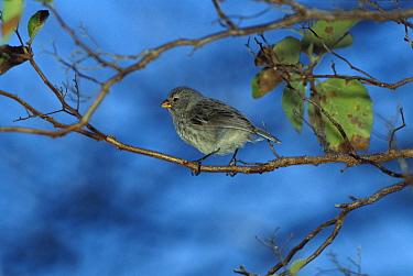 Small Tree-Finch (Camarhynchus parvulus) perched in tree, Santiago Island, Galapagos Islands, Ecuador  -  Mark Moffett