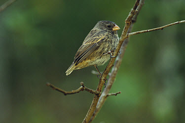 Small Tree-Finch (Camarhynchus parvulus) perching, Floreana Islands, Galapagos Islands, Ecuador  -  Mark Moffett