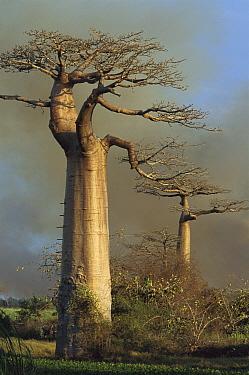 Grandidier's Baobab (Adansonia grandidieri) trees against smoke-filled sky, near Morondava, Madagascar  -  Mark Moffett