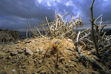 Wind Scorpion (Galeodidae) adult in the desert, Israel  -  Mark Moffett