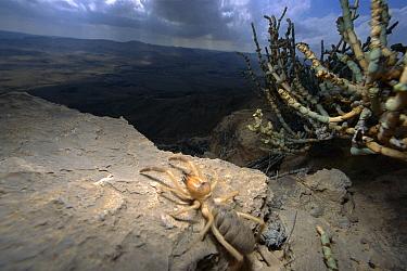 Wind Scorpion (Galeodidae) adult at the edge of Ramon Crater, Arava Rift Valley, Israel  -  Mark Moffett