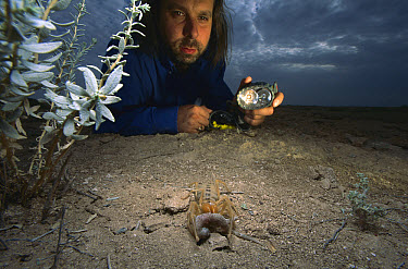 Wind Scorpion (Galeodidae) eats a Gecko it has killed while a researcher with a flashlight looks on, Iran  -  Mark Moffett