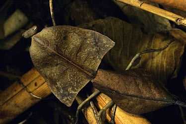 Brown Leaf Mantis (Deroplatys truncata) camouflaged against leaf litter, Malaysia  -  Mark Moffett