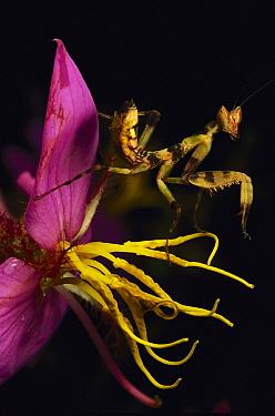 Flower Mantis (Creobroter sp) juvenile camouflaged on flower stamens, Myanmar (formerly Burma), Southeast Asia  -  Mark Moffett