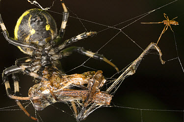 Dewdrop Spider (Argyrodes sp) has food stolen from it's web by another spider  -  Mark Moffett