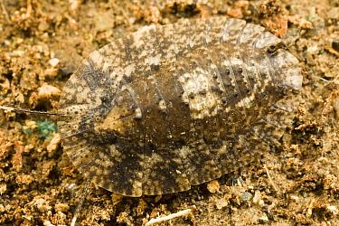 Disk Cockroach, normal view, camouflage, Tiputini, Ecuador  -  Mark Moffett