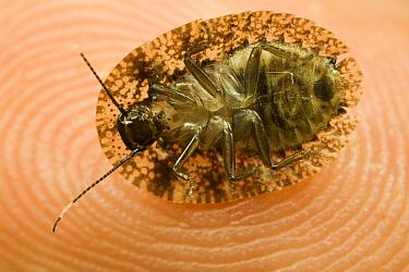 Disk Cockroach, underside view, Tiputini, Ecuador  -  Mark Moffett