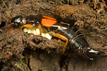 Common Earwig (Forficula auricularia) guarding eggs, Tonga, Oceania  -  Mark Moffett