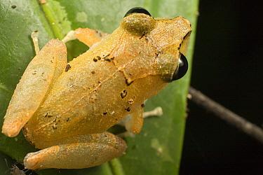 Rain Frog (Eleutherodactylus sp) portrait on leaf  -  Mark Moffett