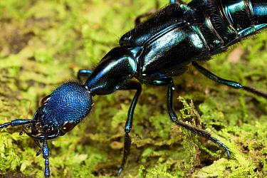Rove Beetle (Staphylinidae) close up  -  Mark Moffett