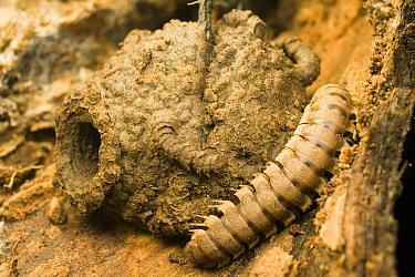 Millipede beside chamber for shedding skin  -  Mark Moffett