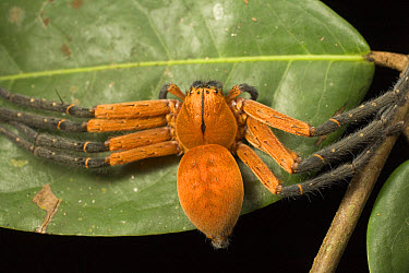 Wolf Spider (Lycosidae) close up portrait, Tiputini, Ecuador  -  Mark Moffett