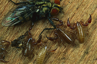 Social False Scorpion (Atemnidae) group attacking a fly  -  Mark Moffett