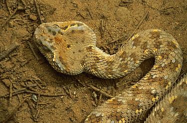Horned Viper (Cerastes cerastes) in desert, Hazeva, Israel  -  Mark Moffett