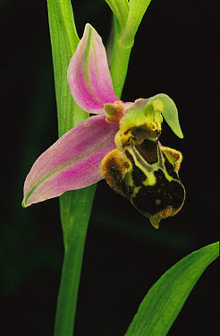 Bee Orchid (Ophrys apifera) this orchid mimics female bee so that the male attempts to mate, Northern Jordan  -  Mark Moffett
