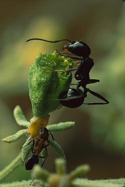 Harvester Ant (Messor sp) pair harvesting seed, Israel  -  Mark Moffett