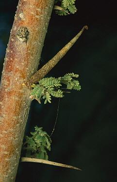 Grass Moth (Pyralidae) caterpillar forms a pillar that mimics the thorn of the Acacia tree, Hazeva, Israel  -  Mark Moffett