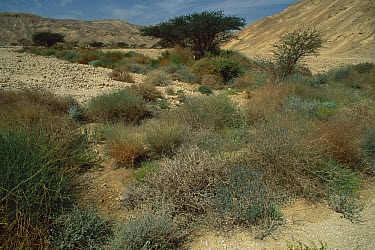 Endemic plants in wadi, Arava Valley, Israel  -  Mark Moffett