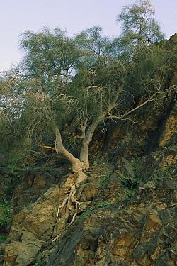 Jasaar (Moringa peregrina) tree, Jordan, Israel  -  Mark Moffett