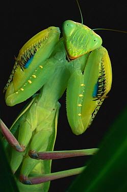 African Praying Mantis (Sphodromantis lineola) female, Africa