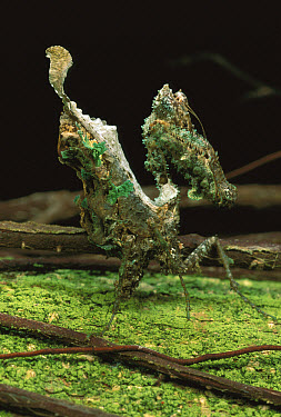 Ecuadorian Mantid (Pseudocanthops sp) matches the color of the lichen from which it hangs  -  Mark Moffett
