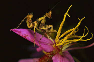 Flower Mantis (Creobroter sp) nymph blending in with plant stamens, Myanmar  -  Mark Moffett