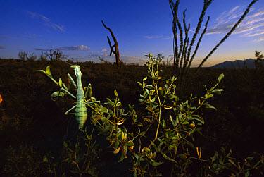 Arizona Mantis (Stagmomantis limbata) on a creosote plant in Sonoran Desert near Tuscon, Arizona  -  Mark Moffett