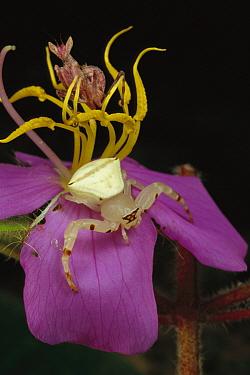 Flower Mantis (Creobroter sp) and a Crab Spider (Thomisidae) awaiting prey on flower, Myanmar (formerly Burma)  -  Mark Moffett