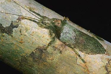 Katydid (Cymatomera sp)close up on tree, Cameroon  -  Mark Moffett