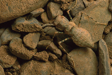Mantid (Mantidae) an extremly rare species, Kerman, Iran  -  Mark Moffett