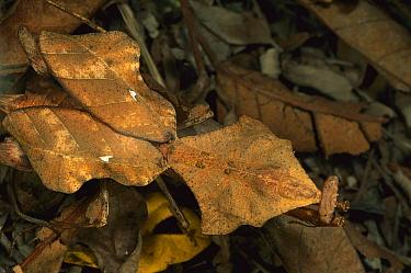 Dead-leaf Mantid (Deroplatys lobata) camouflaged on forest floor, Malaysia  -  Mark Moffett