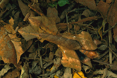 Dead-leaf Mantid (Deroplatys lobata) courting male and female camouflaged on forest floor, Malaysia  -  Mark Moffett