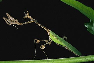 Mantid (Mantidae), Cameroon  -  Mark Moffett
