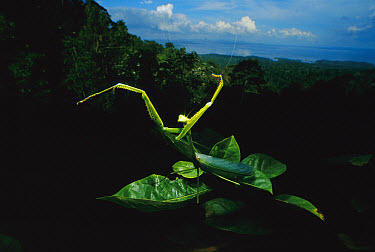 Rainforest Mantid waving arms, Surinam  -  Mark Moffett