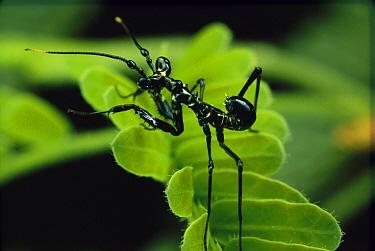 Ant mimic mantid (Hymenopodidae) nymph, New Mexico  -  Mark Moffett