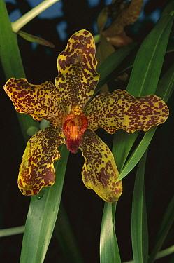 Queen Of Orchids (Grammatophyllum speciosum) blossom, world's largest orchid, Malaysia  -  Mark Moffett