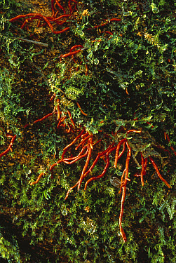 Tree roots extend through soil and moss in the canopy, Papua New Guinea  -  Mark Moffett