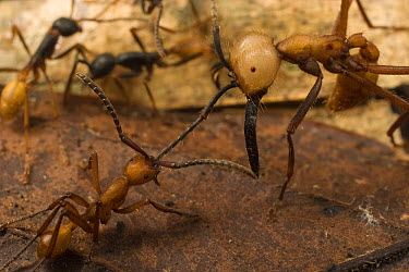 Army Ant (Eciton burchellii), large soldier is cornered by workers of rival army ant (Eciton hamatum) species. The two colonies sparred for an hour in a chance meeting and retreated without fatalities...  -  Mark Moffett