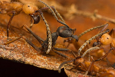 Two army ant species fighting, larger (Eciton i) and the smaller (Eciton hamatum). The two colonies sparred for an hour in a chance meeting and retreated without fatalities, Barro Colorado Island, Pan...  -  Mark Moffett