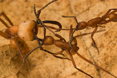 Army Ant (Eciton i) soldier fighting two smaller workers of rival army ant (Eciton hamatum) species. The two colonies sparred for an hour in a chance meeting and retreated without fatalities, Barro Co...  -  Mark Moffett