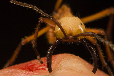 Army Ant (Eciton hamatum) major worker biting finger mandibles while stinging which turns the finger red. Also called a soldier, its primary job is defending the colony, Barro Colorado Island, Panama  -  Mark Moffett