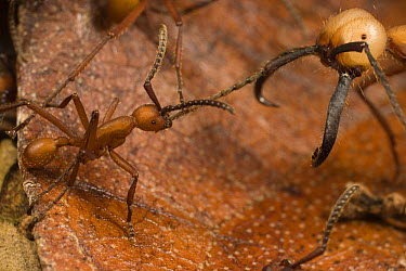 Army Ant (Eciton burchellii) soldier is cornered by smaller worker of rival Army Ant (Eciton hamatum) species, Barro Colorado Island, Panama  -  Mark Moffett