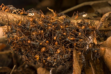 Army Ant (Eciton burchellii) workers form a bridge along the trail for colony members to cross, Barro Colorado Island, Panama  -  Mark Moffett